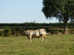Taureau charollais, Bourgogne; Foto: Katrin Keller, 13.9.2009